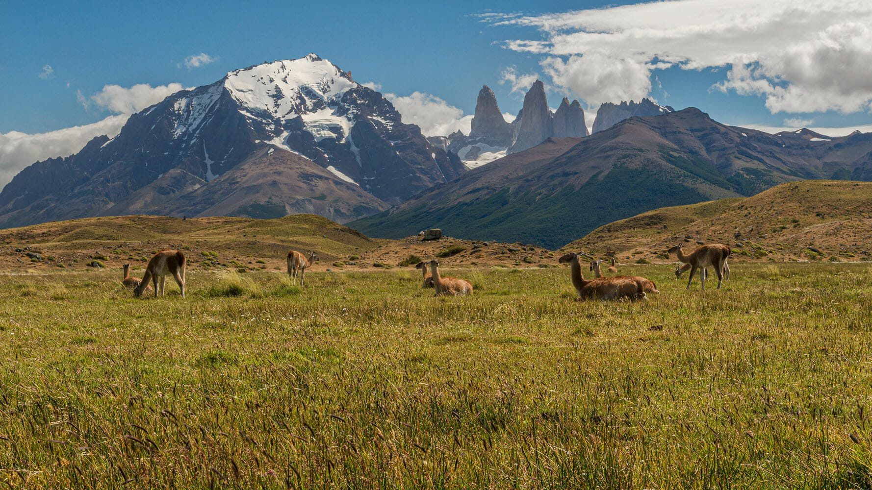 Wide shot of herd of Guanacos at the foot of the Torres del Paine mountain range